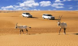 Arabian Oryx in Dubai with Range Rovers in Background